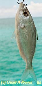 http://mapage.noos.fr/j2jaeger/images/fish2jac.jpg