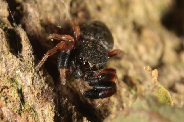 Petite araignée noire Araigneenoire1
