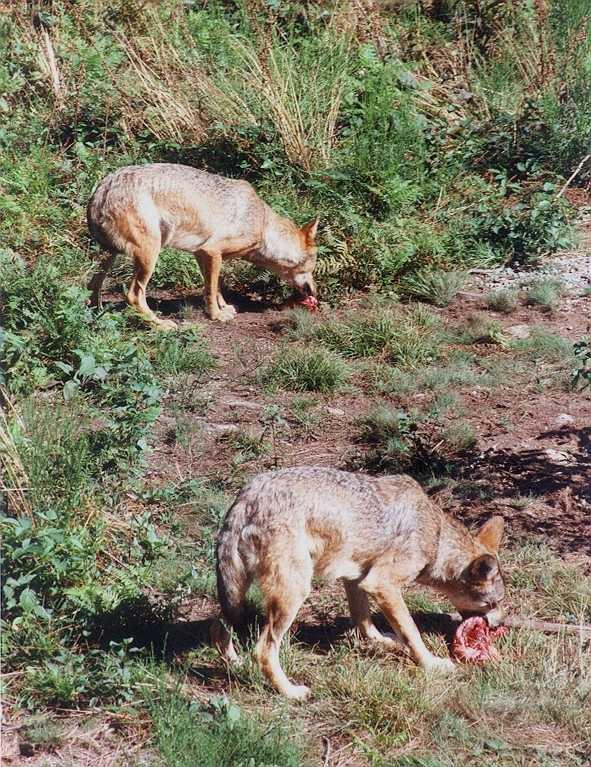 http://mapage.noos.fr/yann.gaudy/Loups1/Loup08.jpg